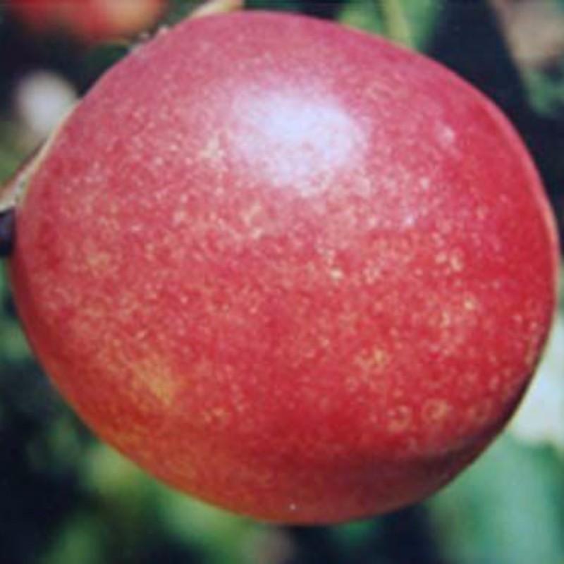 万寿红油桃 种苗