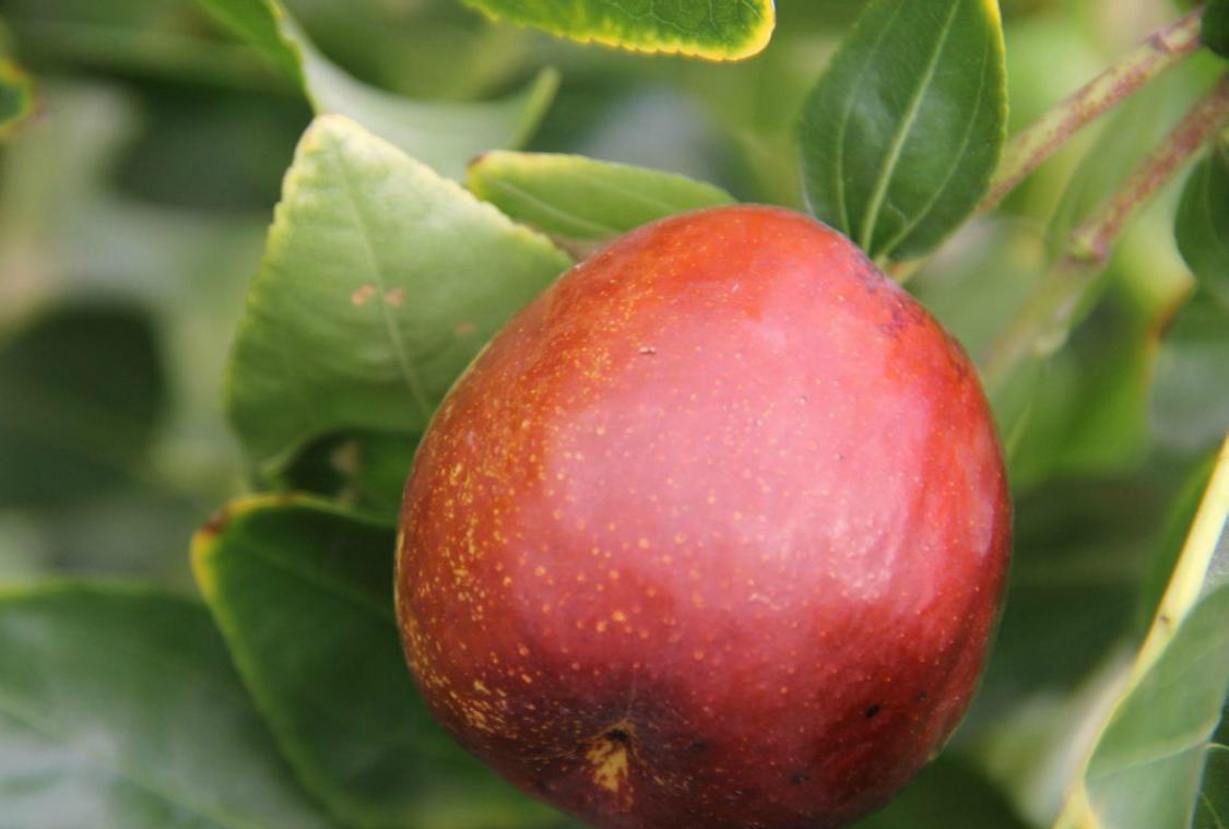 梨枣 种苗
