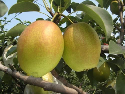 红香酥梨 种苗