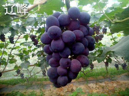 辽峰葡萄 种苗