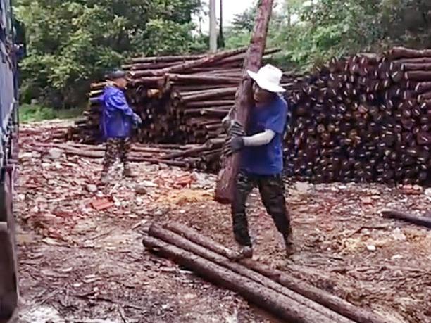 杉木支撑杆