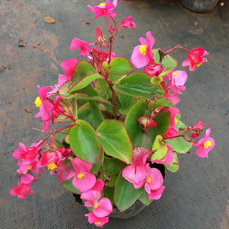 大海棠種苗