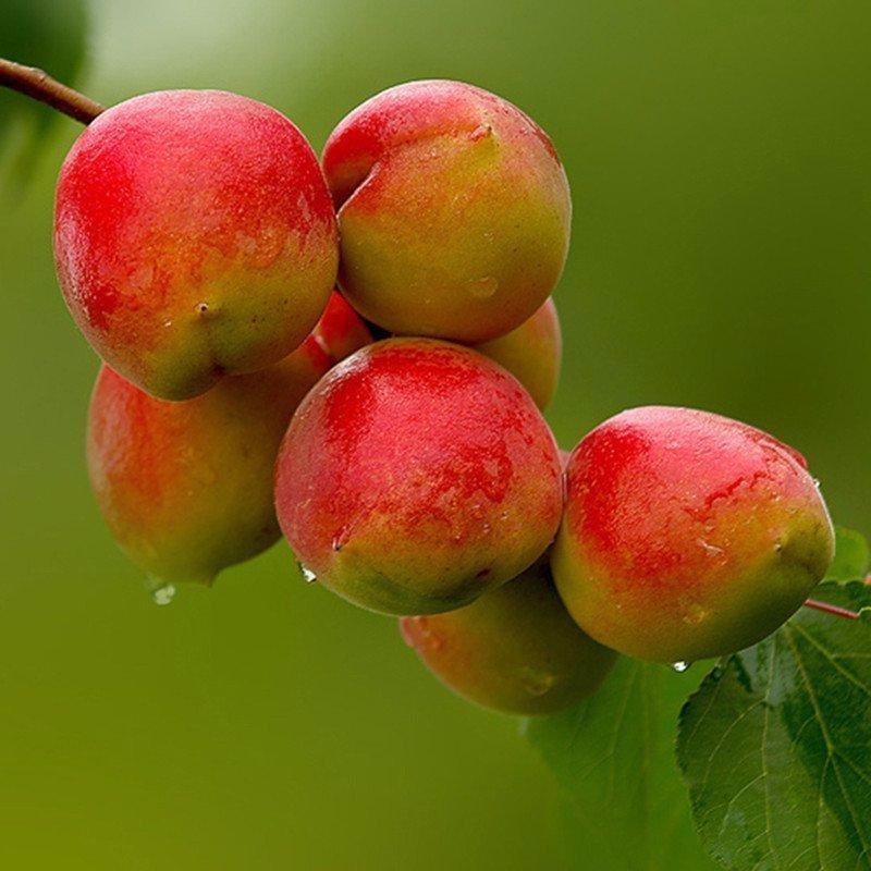 串枝红杏 种苗