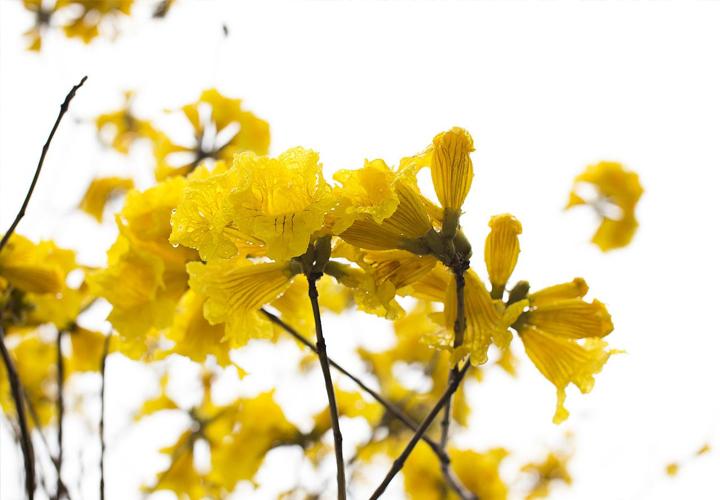 小叶多花黄花风铃木