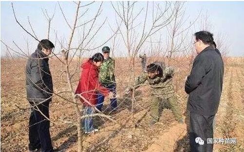 大棚桃树怎样种植