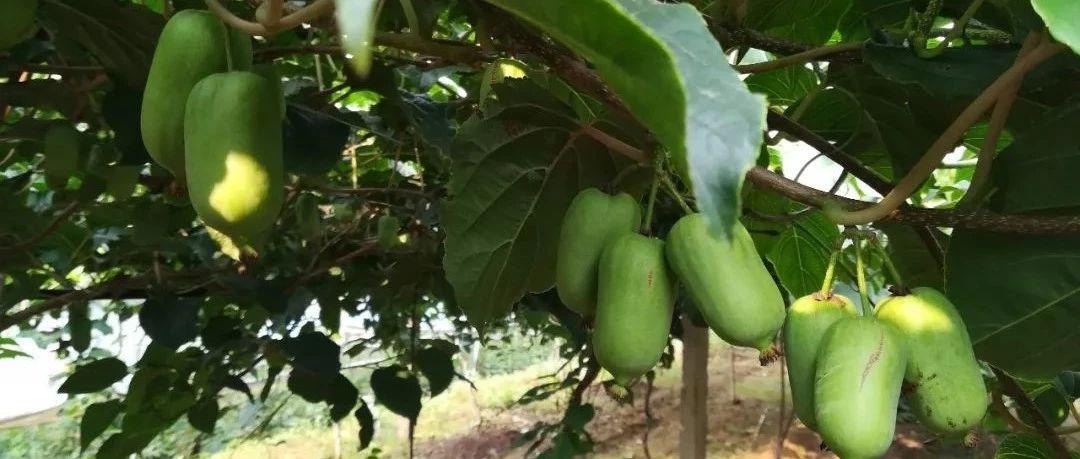 软枣猕猴桃经济价值、适应性及高效经营技术