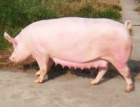 长太二元母猪