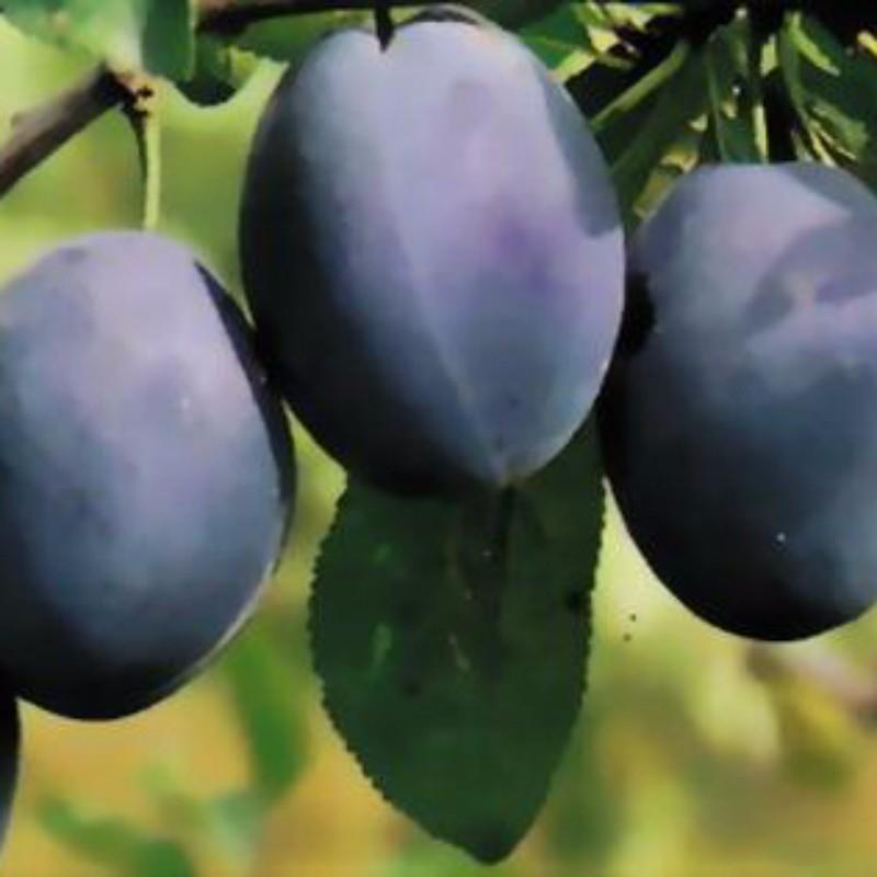 西梅 蓝蜜 种苗