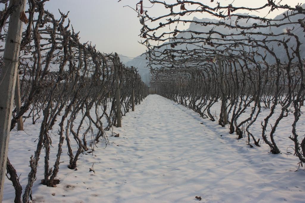 酿酒抗寒葡萄1号 种苗