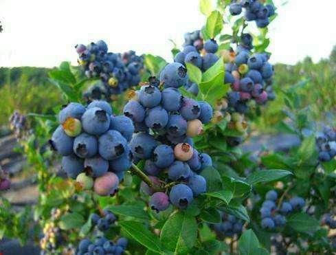 北路(陆)蓝莓 种苗