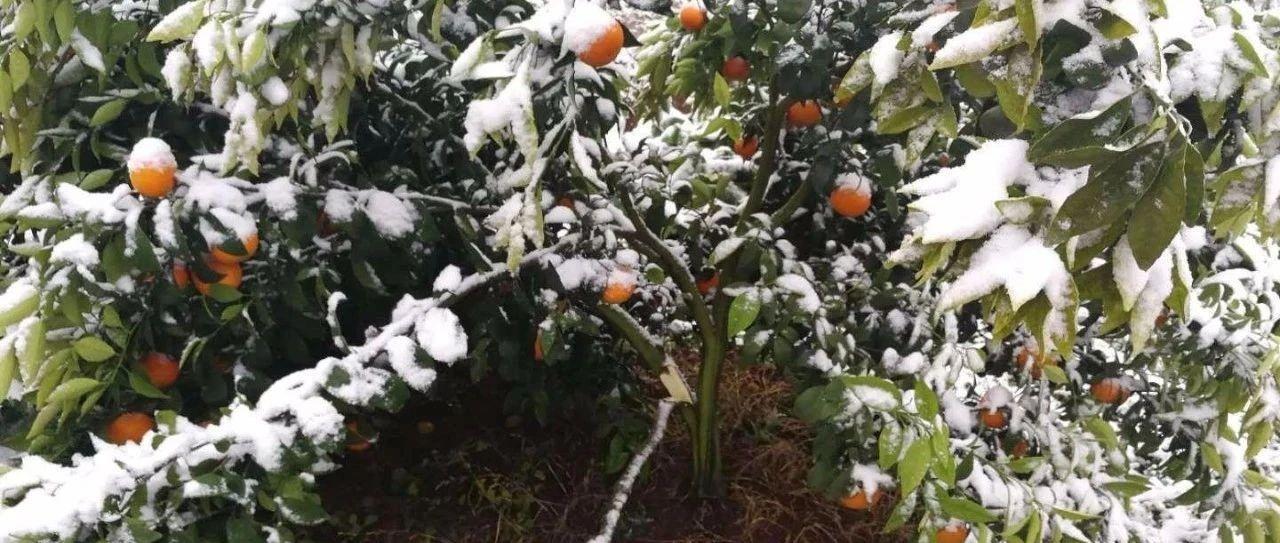 乡土专家田间课堂开春讲:冻害后柑桔的春季管理技术