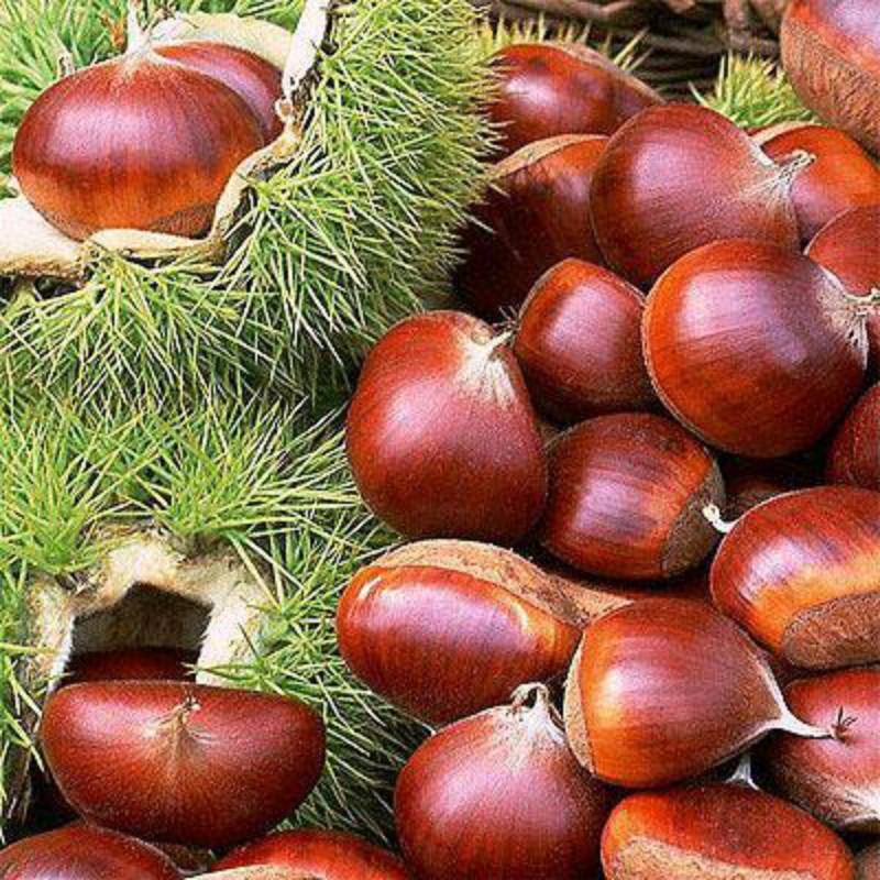大红袍板栗 种苗