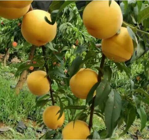 早黄甜桃 种苗