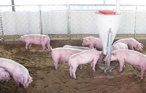 影响仔猪生长速度的因素你知道多少
