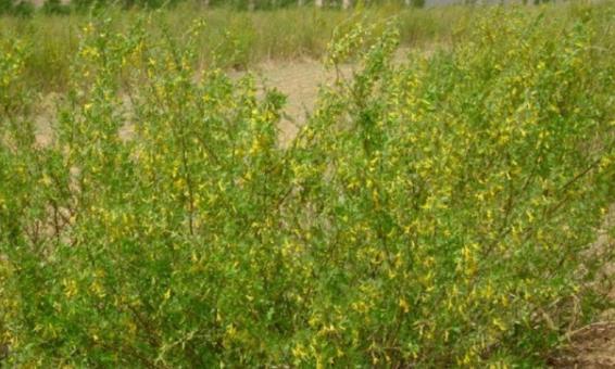 柠条造林技巧:柠条造林需要注意哪些方法才能提高产量?