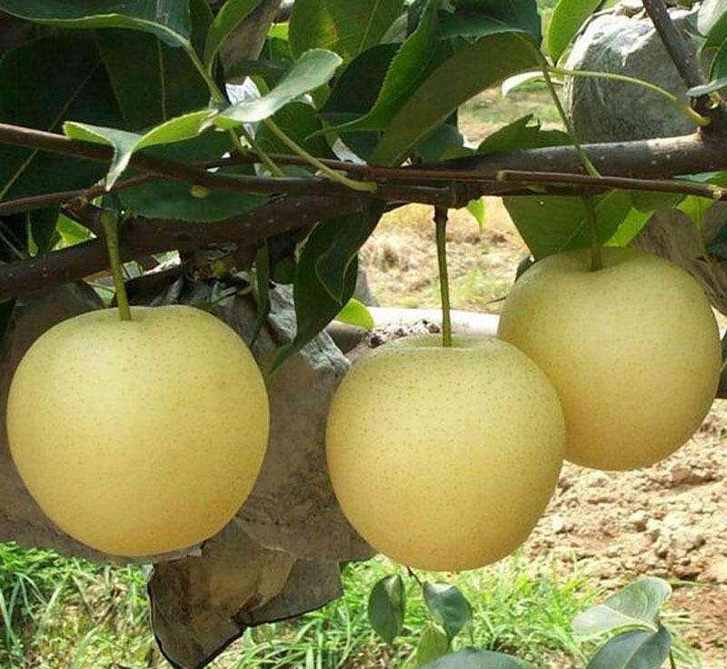 黄冠梨 种苗