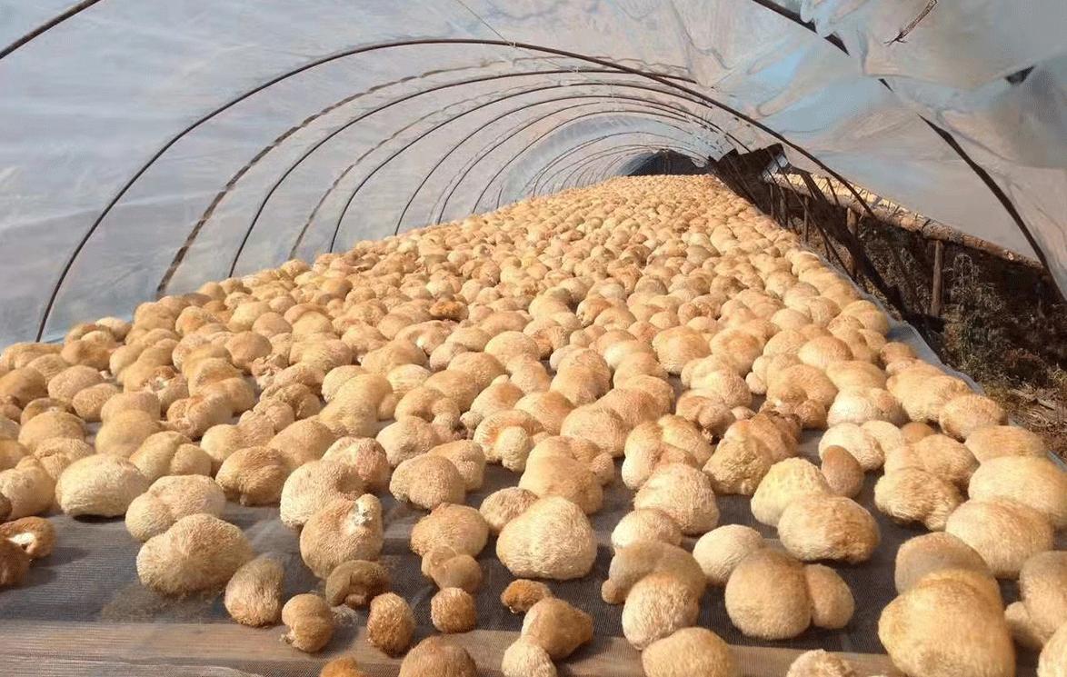 猴頭菇基地