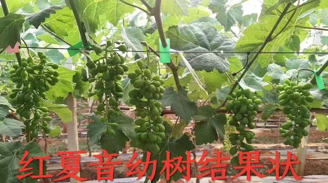 红夏音葡萄 种苗