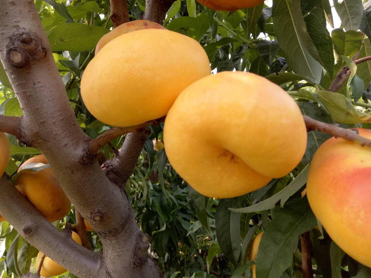 金琥珀油蟠桃 种苗