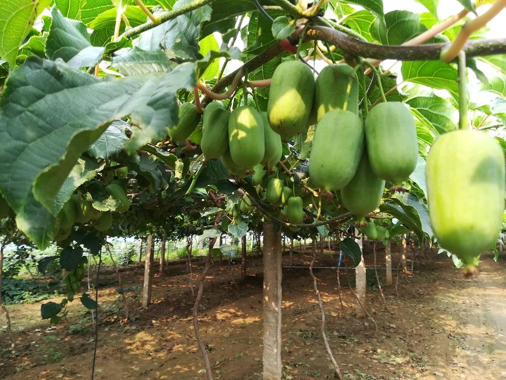 龙成二号软枣猕猴桃 种苗