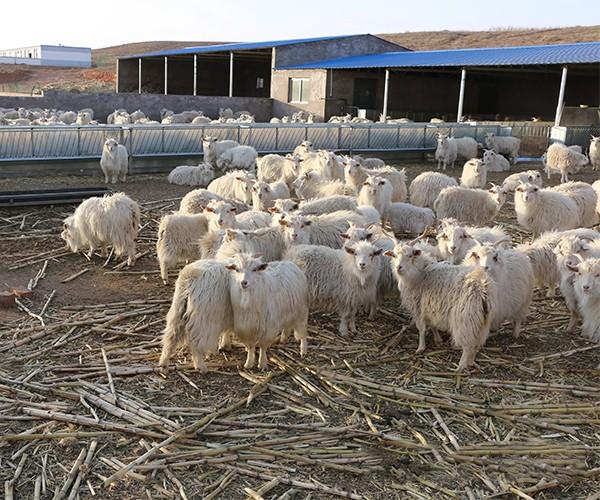 放养山羊肉