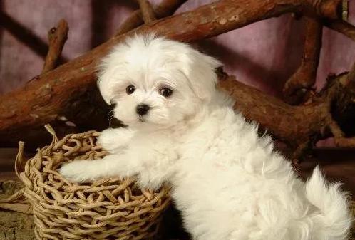 宠物美容师需要常做美容的四大犬种