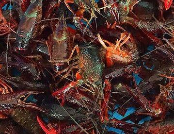 浅谈小龙虾养殖前景分析怎么样