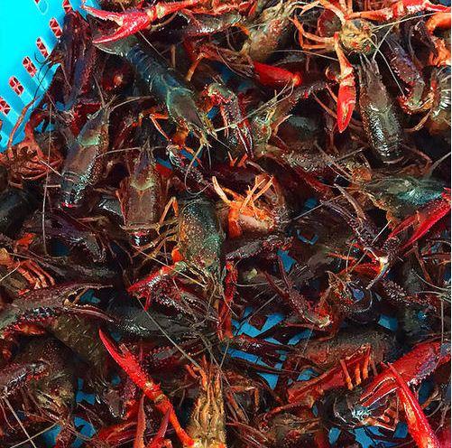 龙虾养殖风险