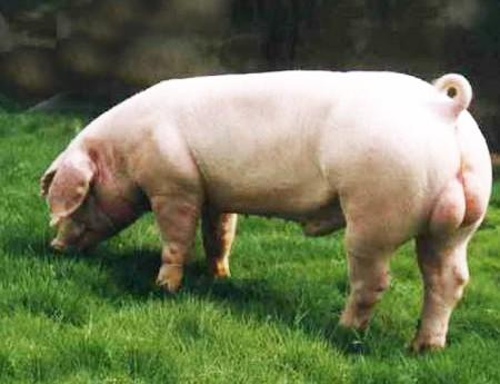 长白种猪公猪