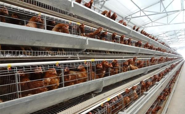 这三种养殖设备错误使用容易导致鸡死亡,请注意!