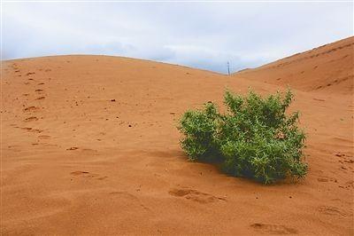 沙蒿常作为牛羊等的冬季饲料,具备很好的固沙效果
