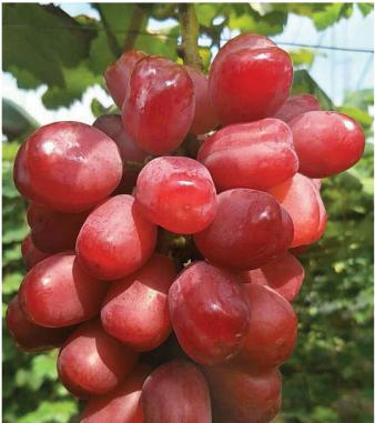 国艳葡萄 种苗