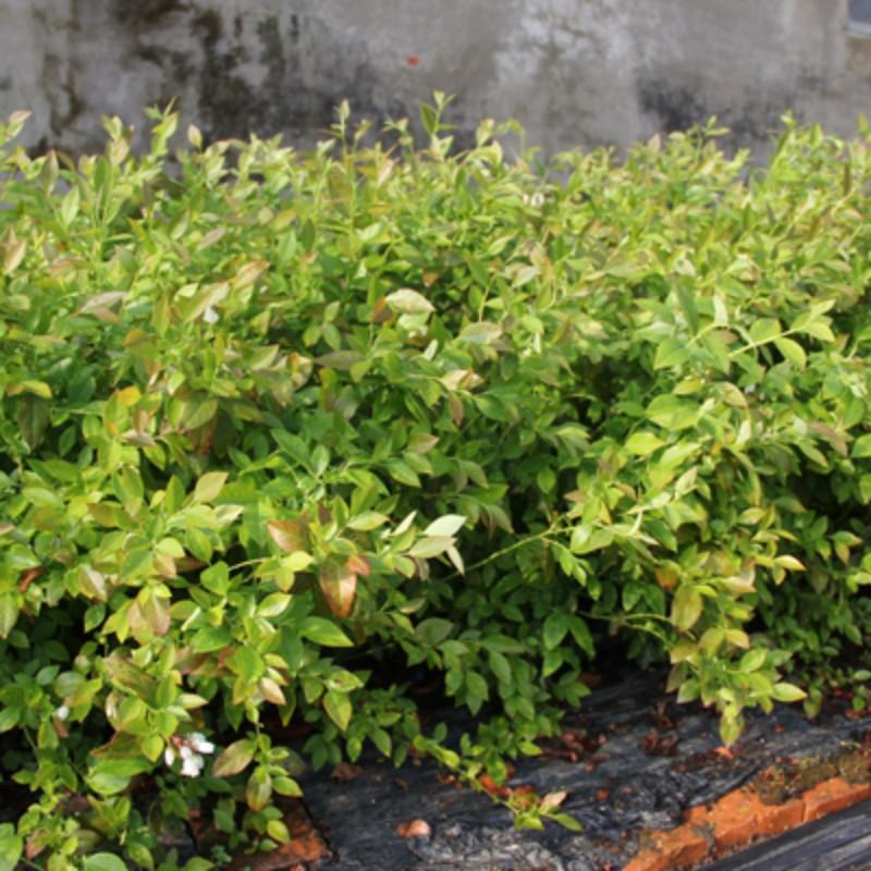 蓝源(M7)蓝莓 种苗