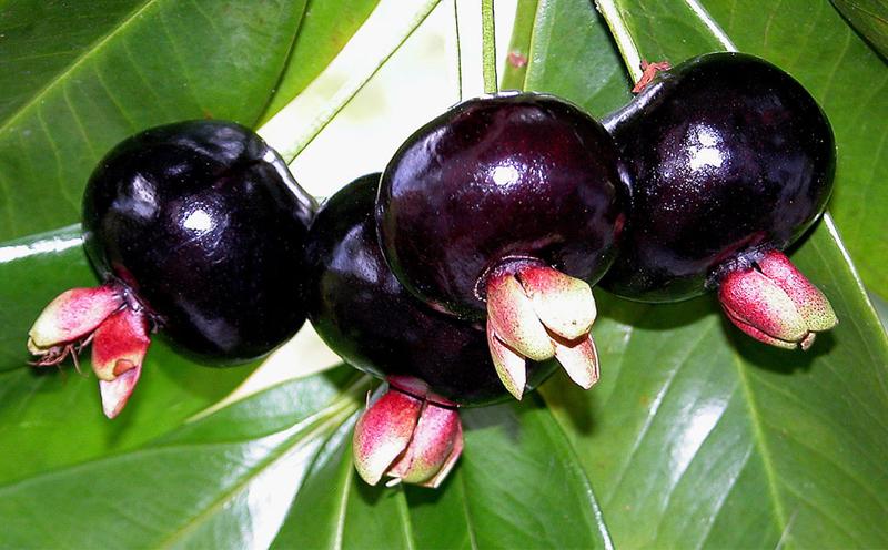 巴西樱桃的种植信息