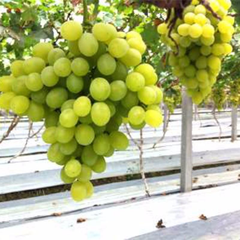 白罗莎葡萄 种苗