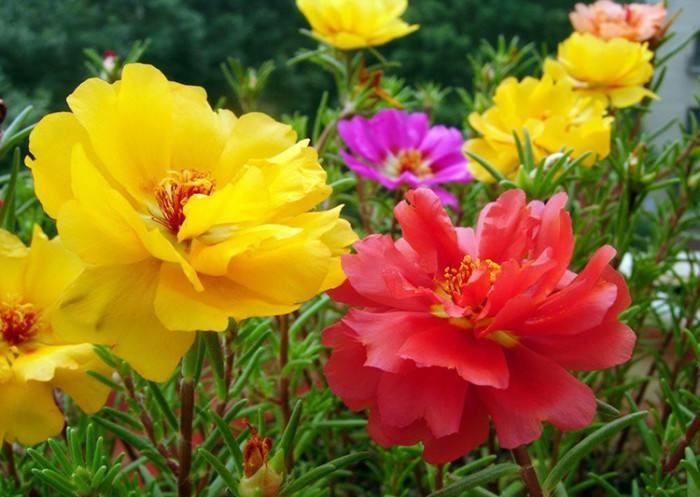 松叶牡丹花种