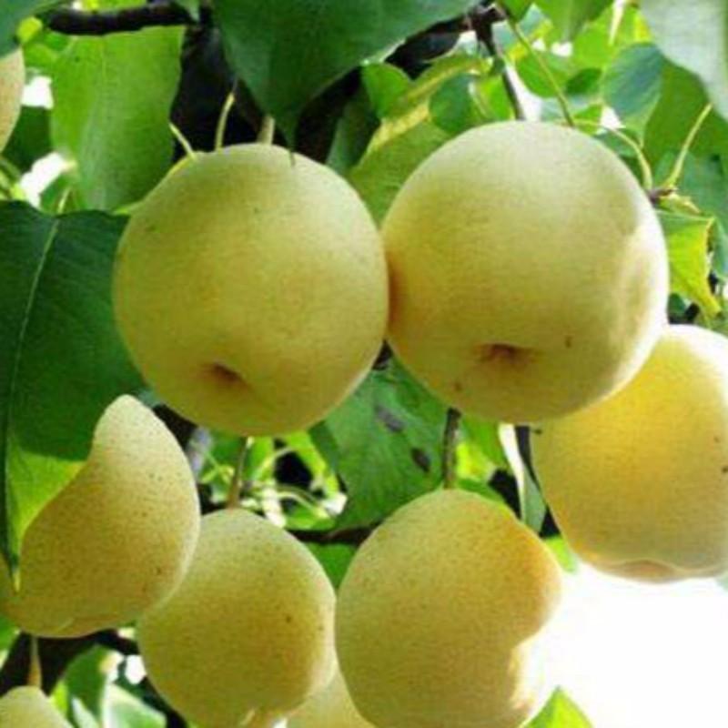 锦丰梨 种苗