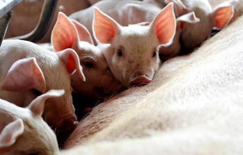 从育种技术的视点出发,我国种猪遗传改良的途径有哪些?