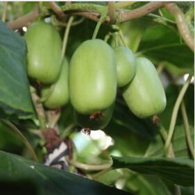 绿珍珠软枣猕猴桃 种苗