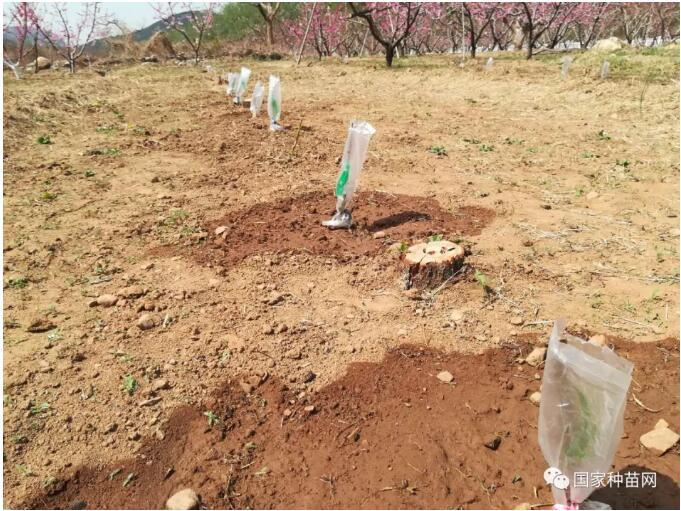 影响果树苗栽种与成活相关因素分析