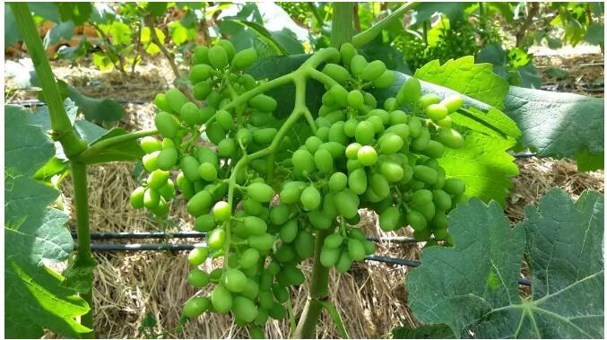 葡萄幼果膨大期管理技术要点