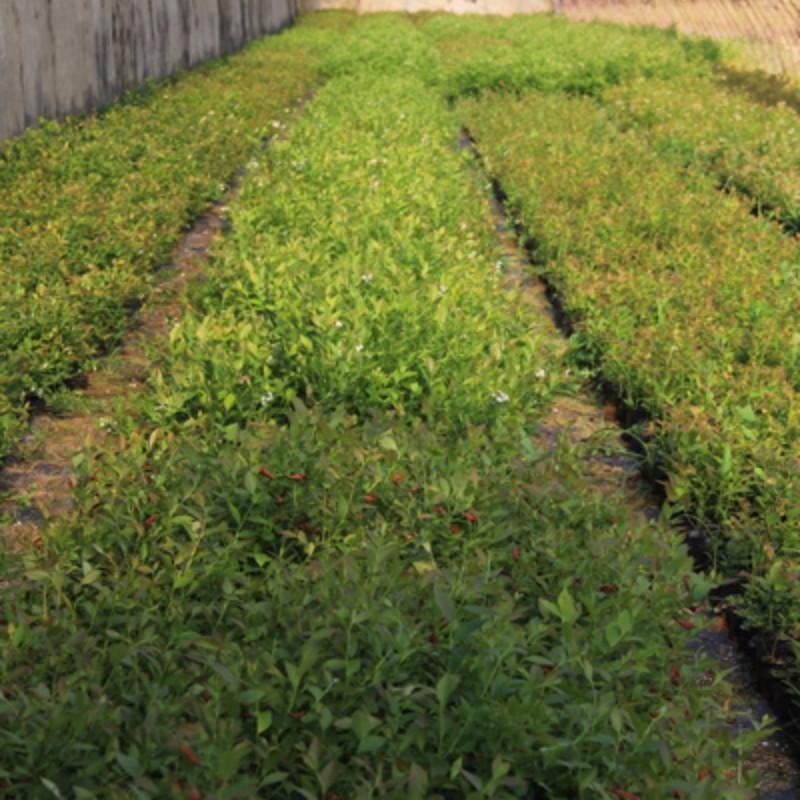 自由蓝莓 种苗