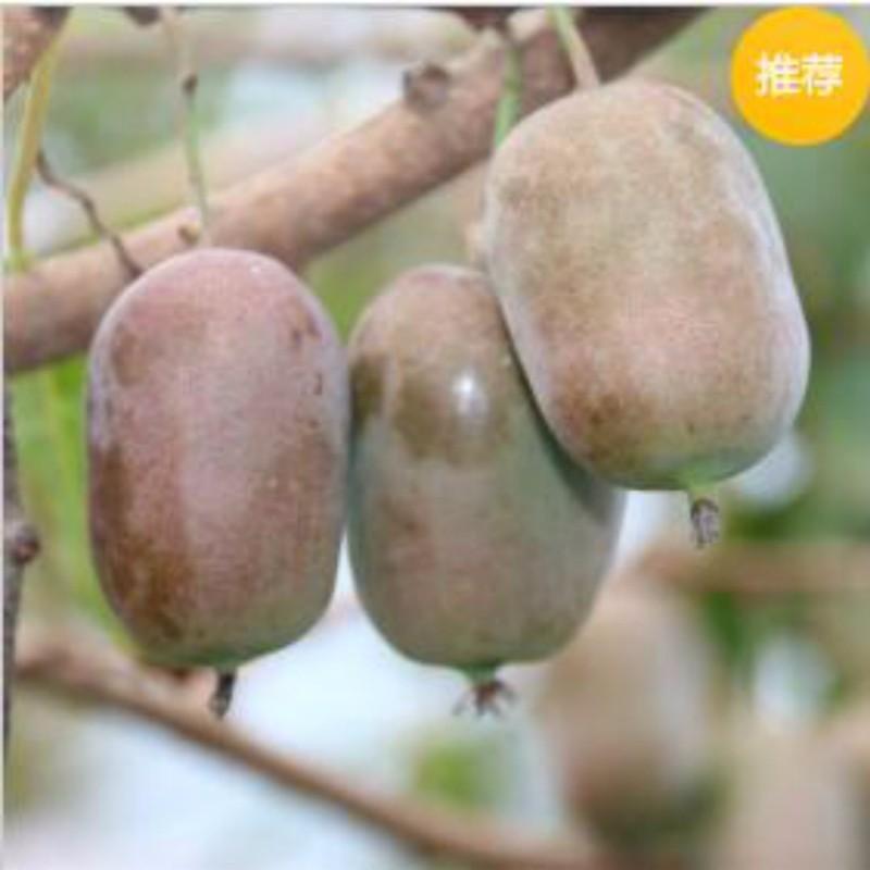 红佳丽(软枣猕猴桃)种苗
