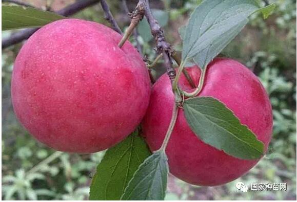 李子树栽培管理实用技术