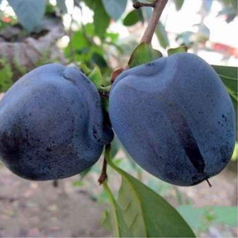 黑柿 种苗