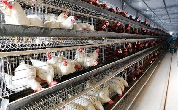 怎樣應用自動化籠養配置讓肉雞們快速增肥