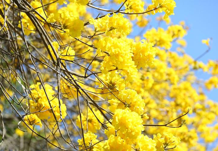 多花黄花风铃木