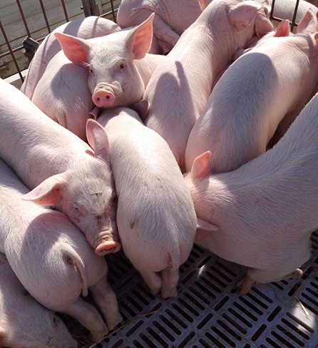 猪苗补铁的现实意义是什么?如何进行仔猪补铁?