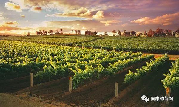 100亩优质葡萄园投资效益分析