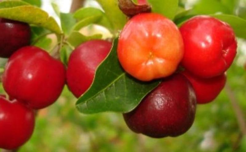 巴西樱桃栽培技术及管理